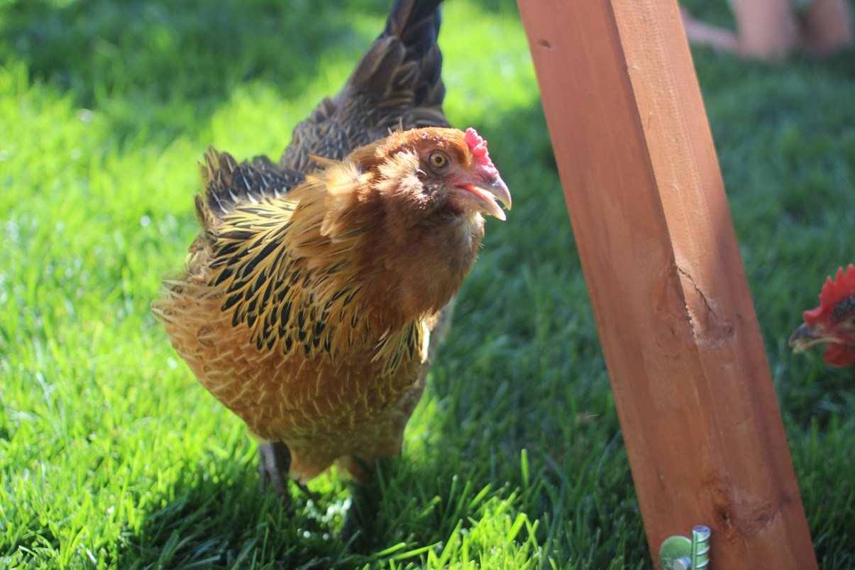 we have backyard chickens what we u0027ve learned so far